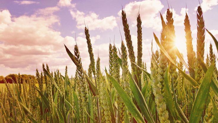 Bread To Be...Пшеничные поля графства Хэмпшир, Англия.