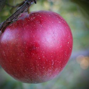 Pommier Connell Red - Une pomme succulente, pour ne pas dire la meilleure pomme!