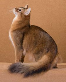The breathtaking Somali cat, with its banded coat, can sometimes behave more like a monkey than like a cat, jumping into the air, tossing balls and toys, and even running sideways, tail and back arched.