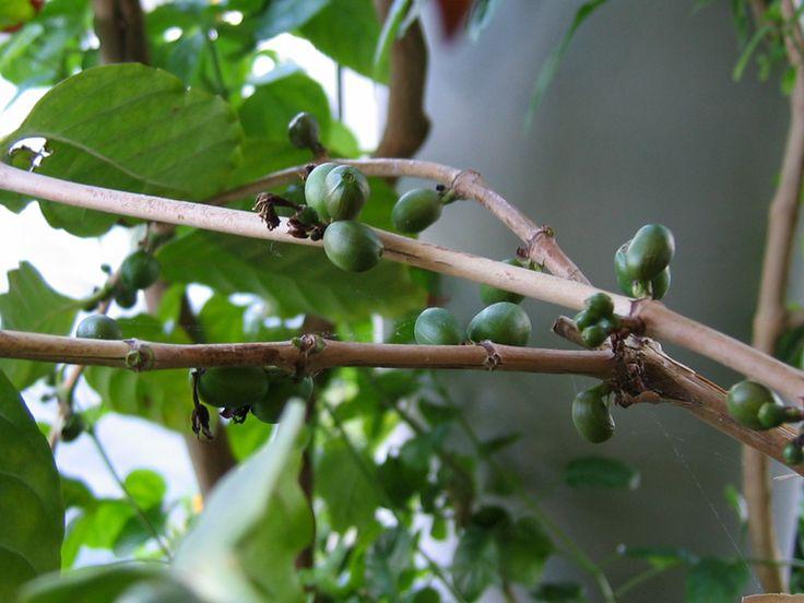 Caféier d'Arabie, Coffea arabica