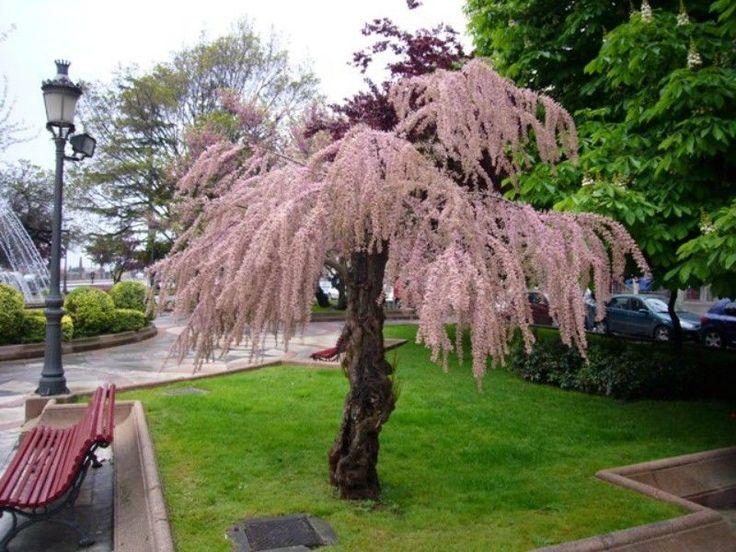 tamaryszek drzewo - Szukaj w Google