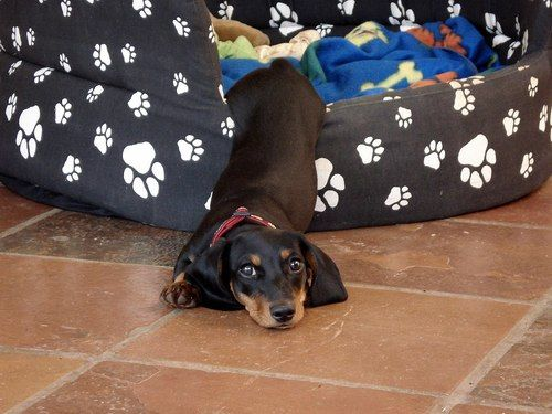 DachshoundPuppies, Beds, Dachshund, Pets, Dogs Doxie, Adorable, Weiner Dogs, Wiener Dogs, Animal