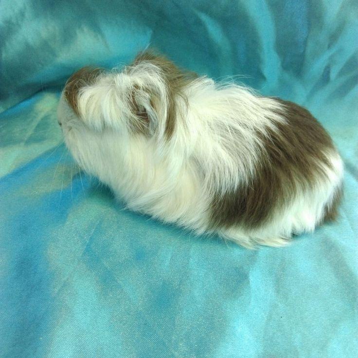 0619 Ginepig Coronet Safkan  Guinea Pig Erkek Cinsi : Guinea Pig Coronet Safkan - Cinsiyet : Erkek- Doğum Tarihi : 23.05.2017 Nakliye : Sahiplenecek kişiye ait  - iletişim : 0 537 9860642 -WhatsApp - ilan no : 0619-  Zonguldaktan ulaşım olan tüm illere gönderimi mümkündür. www.guineapigcim.com