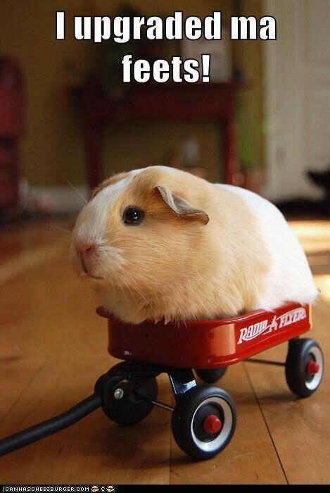 Guinea Pig hilarious pic