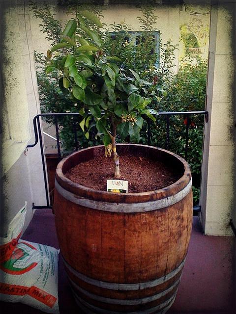 @Janelle Okamoto, we got your grandpa lemon trees in wine ...