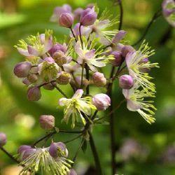 """Thalictrum 'Anne' akeleiruit  kleur rozebloeit van juni tot augustusfamilie Ranunculaceaehoog 250 cmplaats vocht sier, snijbloem """"Die belletjes, wat is dat?"""" Vraagt iedereen dan.  Heerlijke wolken elfachtige bloemen zijn het.  Het blad van deze nieuwe cultivar blijft veel langer mooi dan van tweelingzusje 'Elin' die we al zo fantastisch vonden.  Heerlijk langlevend en groot spul."""