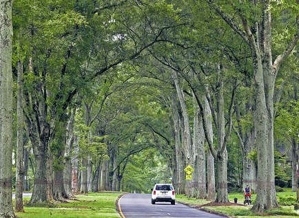 A car drives under canopy oak trees Queens Road West Charlotte N.C. A wide street with million-dollar homes Queens Road