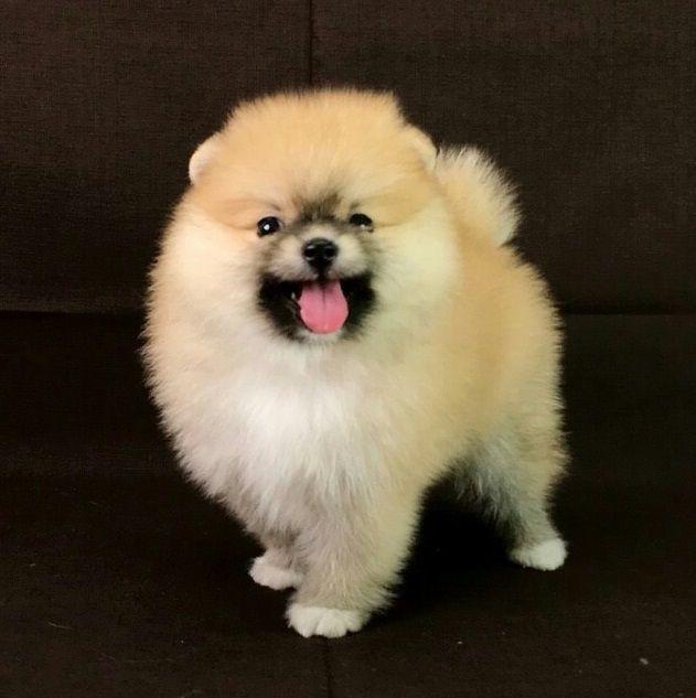 Pomeranian Puppies For Sale In Nepal Zoe Fans Blog Pomeranian Puppy Pomeranian Dog Puppy Adoption