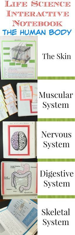 Human Body activities for the Science Interactive Notebook engaging activities, teacher notes and quizzes with answer keys. This is Part 1 in a series on The Human Body be sure to check out Part 2!
