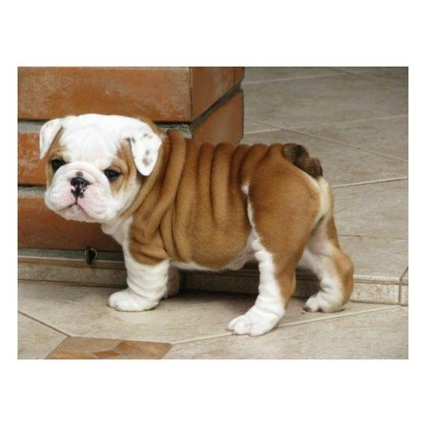 French Bulldogs Puppies http://www.worldoffrenchies.com/french-bulldog-for-sale/ Limited Edition French Bulldog Tee