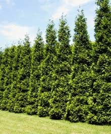 Thuja Green Giant. Limited height screening/privacy. 20-35 ft. tall. 8-12 ft. wide. Plant every 5-6 ft. Grows in uniform shape and height. Don't have to do anything to them. Drought tolerant, no significant insect or disease problems. Not prone to deer and bagworm problems. Grows in almost any soil, even sandy loam, heavy clays. Prefers direct sunlight. And does well in partial shade. Make sure grown in pots and not topped off.