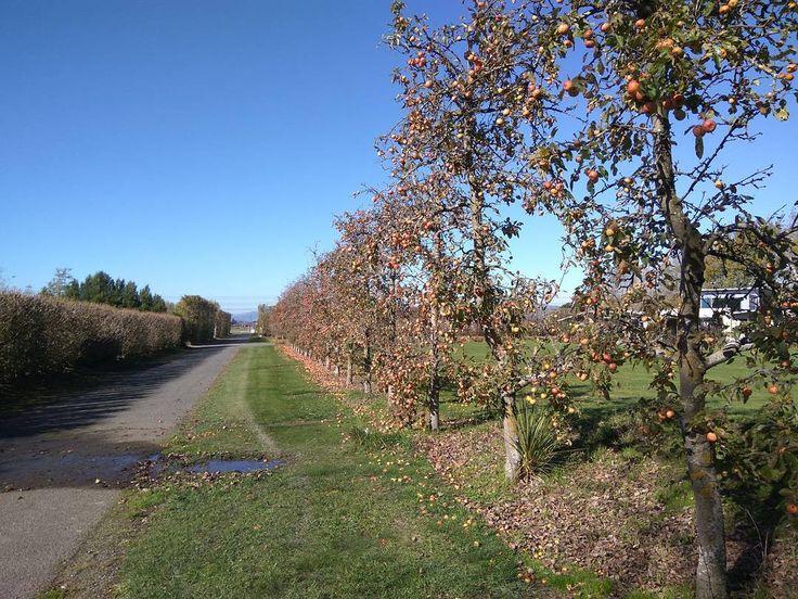 #apples #tree #nature #nz #christchurch