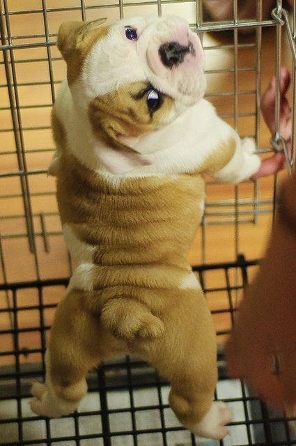 English Bulldog puppy- how cute & wrinkly is HE/SHE ?? <3