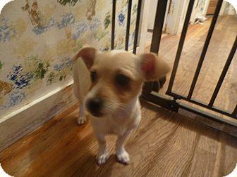 Glastonbury, CT - Shih Tzu/Chihuahua Mix. Meet Shayla, a puppy for adoption. http://www.adoptapet.com/pet/14127877-glastonbury-connecticut-shih-tzu-mix
