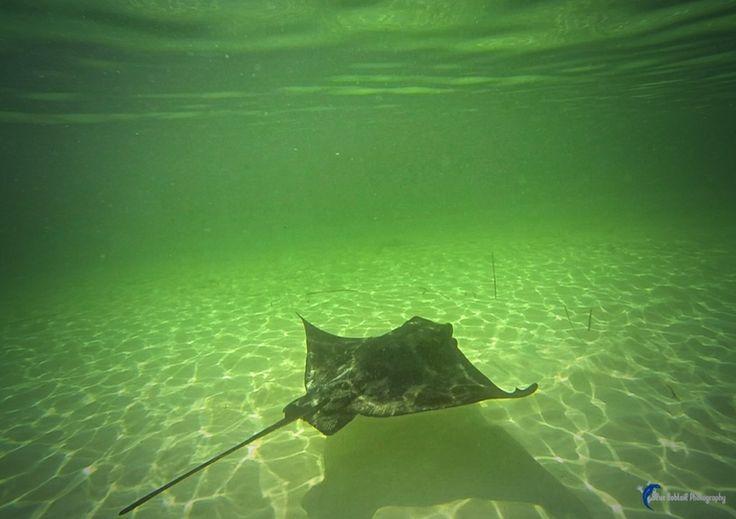 Beautiful ray at Rottnest this week #Stingray #ray #Rotto