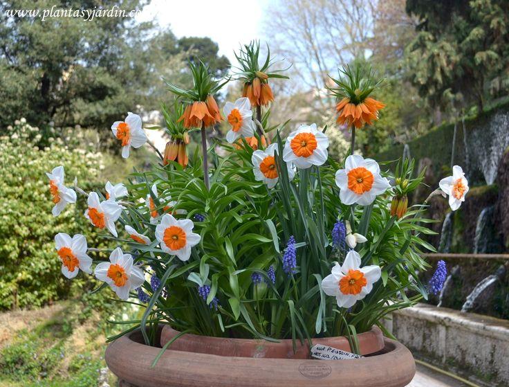 Bulbos de primavera se siembran en otoño