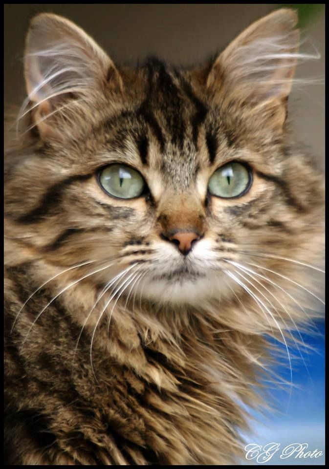 a beautiful cat, i once had a Maine coon cat called Gee. Looked just like this one.