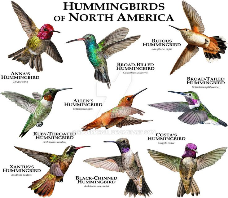 Fine art illustration of various species of North America's hummingbirds