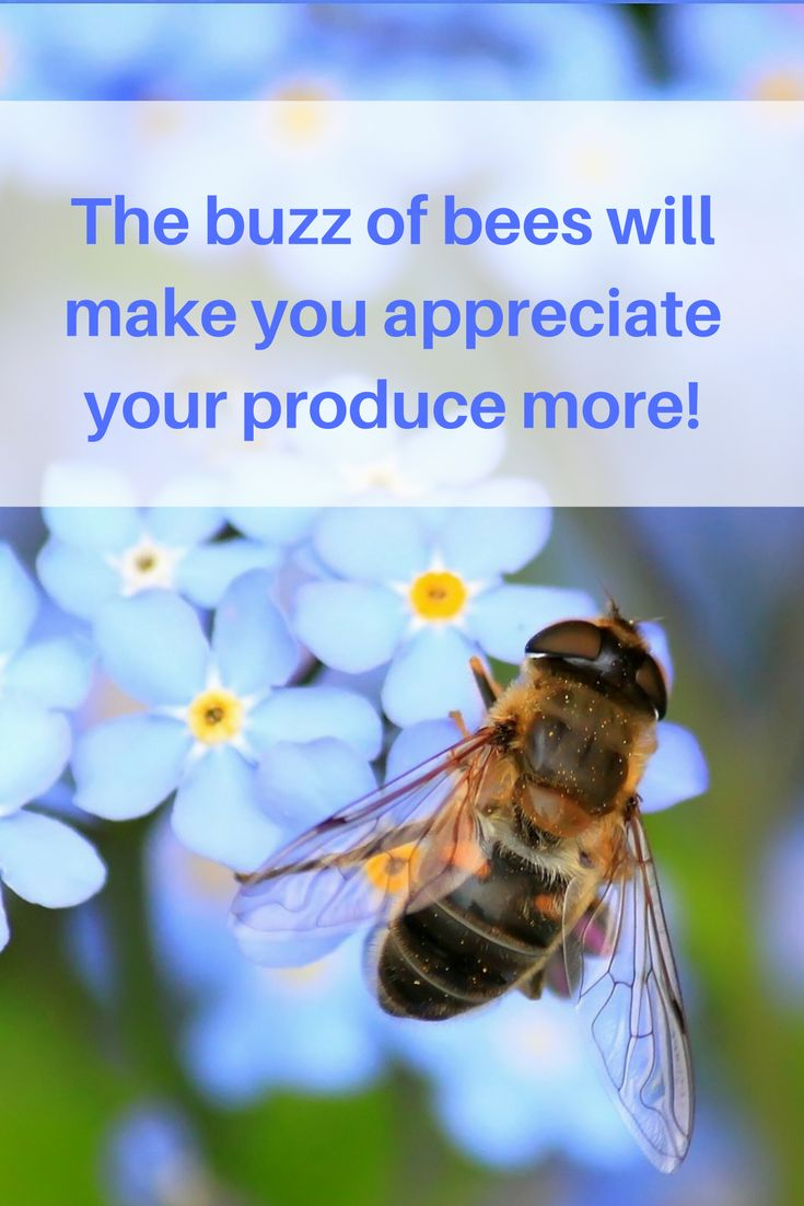 As a bee collects from the flowers some of the pollen from the male reproductive part of the flower, is transferred to the next flower and rubbed onto the female organ of the new flower. This is the fertilisation process, and from this fruit carrying seeds can develop.