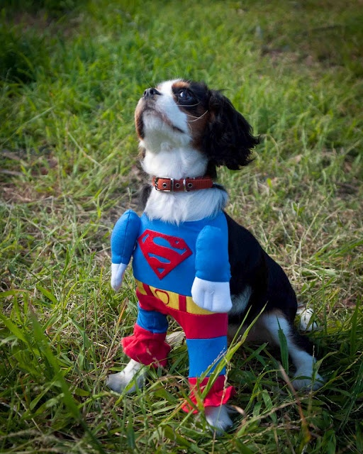This Supergirl outfit for my puppy freaks me out a little bit! #puppy #costume # supergirl #dog #cavalierkingcharlesspaniel #cute