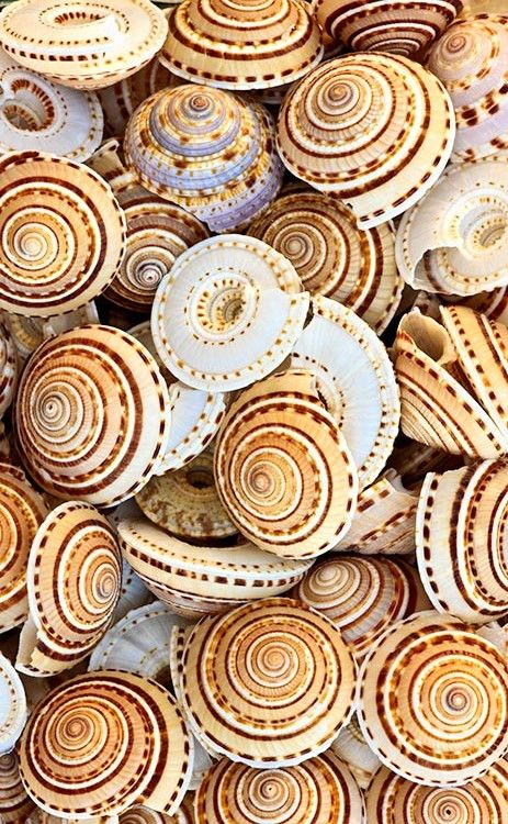 Common Sundial shells