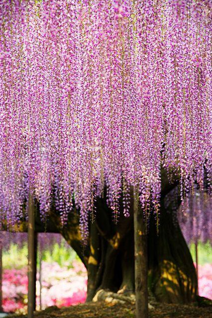 Ashikaga Flower Park in Tochigi, Japan: Flowers Parks, Spring Flowers, Flowers Fields, Purple Flowers, Beautiful, Giant Wisteria, Photo, Ashikaga Flowers, Wisteria Trees