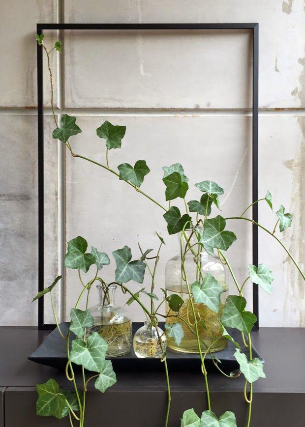 Murgröna i några vaser