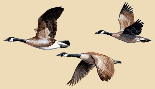 Canada Goose Facts, Information & Photos