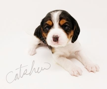 Beaglier puppy for sale in CANOGA PARK, CA. ADN-59074 on PuppyFinder.com Gender: Female. Age: 6 Weeks Old