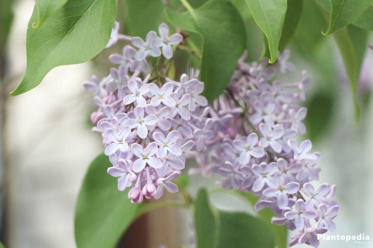 Le lilas appartient aux arbustes classiques de jardin ou aux arbres plus petits, qui exsudent l'essence du printemps. Les fleurs tubulaires, qui apparaissent sur le bois en mai, se développent en panicules colorées et offrent un parfum exquis et unique. Sans les fleurs, l'aspect du lilas est plus en arrière-plan. Comment tout faire correctement en …