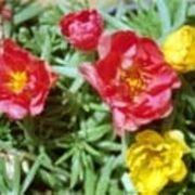How to Grow Moss Rose/ Purslane (Portulaca grandiflora) | eHow....this is one of my favorite plants this summer.  It looks a lot like sedum, but has really pretty flowers.
