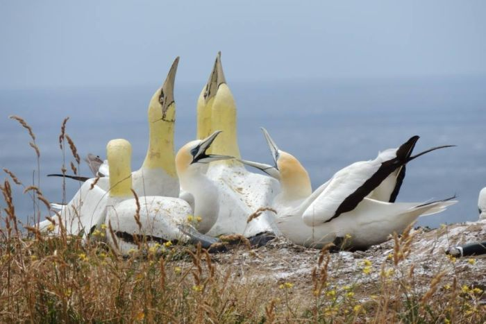 Nigel the gannet with concrete love - 'Loneliest bird in the world' dies amid concrete companions on New Zealand's Mara Island