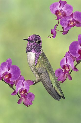 Costa's Hummingbird and Orchids | Gail Melville Shumway Photography.