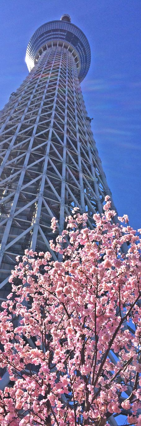 Cherry blossom infront of Tokyo's Skytree!