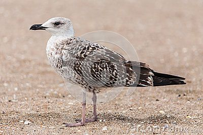 Baby young Seagull on beach. Seagulls are seabirds of the family Laridae in the sub-order Lari.