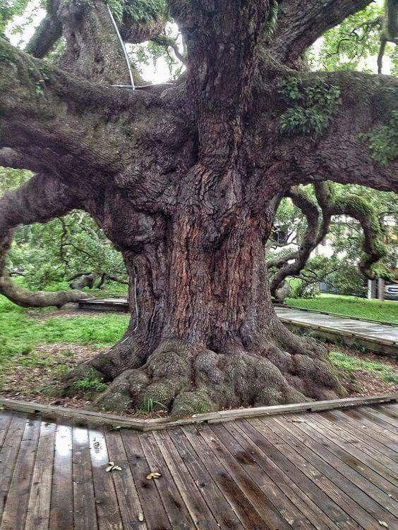 7183 besten alte b ume bilder auf pinterest wald - Baum auf spanisch ...