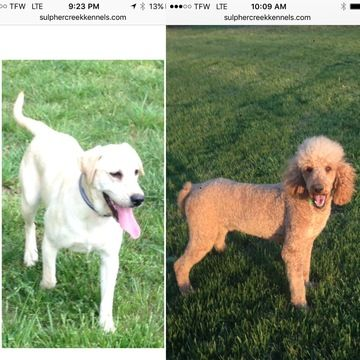 Labradoodle puppy for sale in COLUMBIA, KY. ADN-44295 on PuppyFinder.com Gender: Female. Age: On the way