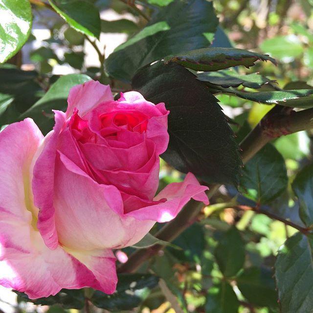 今日のお庭。今年最初のプリンセス・ド・モナコが開きかけていました(^ν^) #薔薇 #バラ #rose #綺麗 #庭 #garden #もと #もとlfukudamotoko2017/04/22 16:31:58