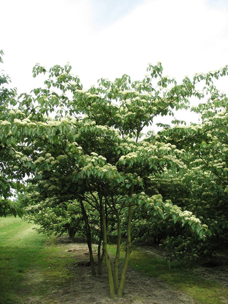 Cornus controversa ebben multistem trees pinterest for Nice small trees