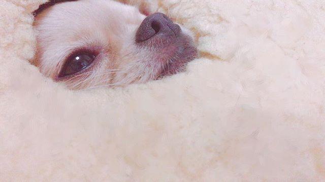 ゆんたん🐶 顔はめパネルではない 🕳🐶 #ゆんたん #うさ耳ゆんたん  #愛犬 #ロングコートチワワ #dog  #犬バカ部#愛嬌  #かわいい #cute #pet #chihuahua  #멍스타그램 #개스타그램 #🐶 #ロンチー  #withonline_jp #with_mag_official #チワワ #ちわわ #ペット #pic #photo
