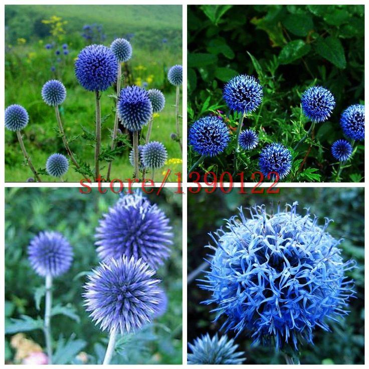 100pcs Blue Ball Thistle seeds,Japan Thistle,  bonsai Thistle flower Echinops Ritro chrysanthemum for home garden planting