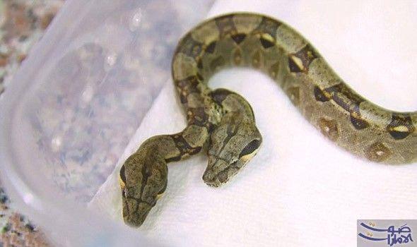 اكتشاف ثعبان برأسين وقلبين منفصلين ويخضع حالي ا للفحص انتهى المطاف بمربي ثعبان من فلوريدا بالحصول على أفعى ذات رأسين لها قل Boa Constrictor Snake Snake Lovers