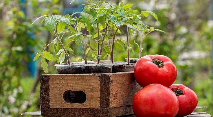 рассада, томаты, помидоры