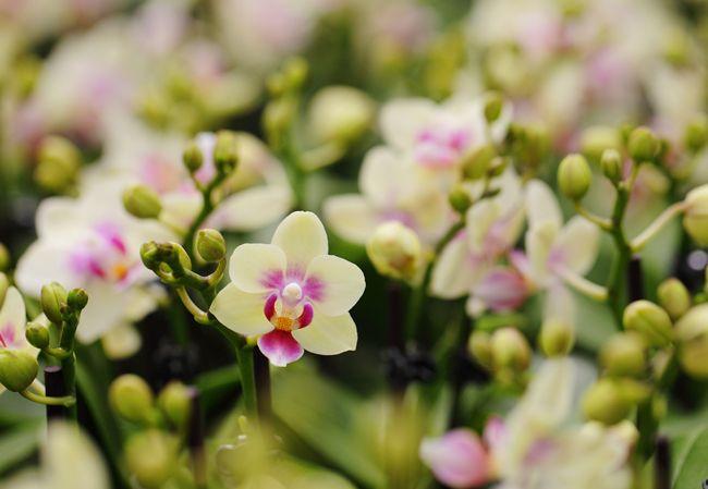 39 Best Images About Mini Orchid Photos On Pinterest