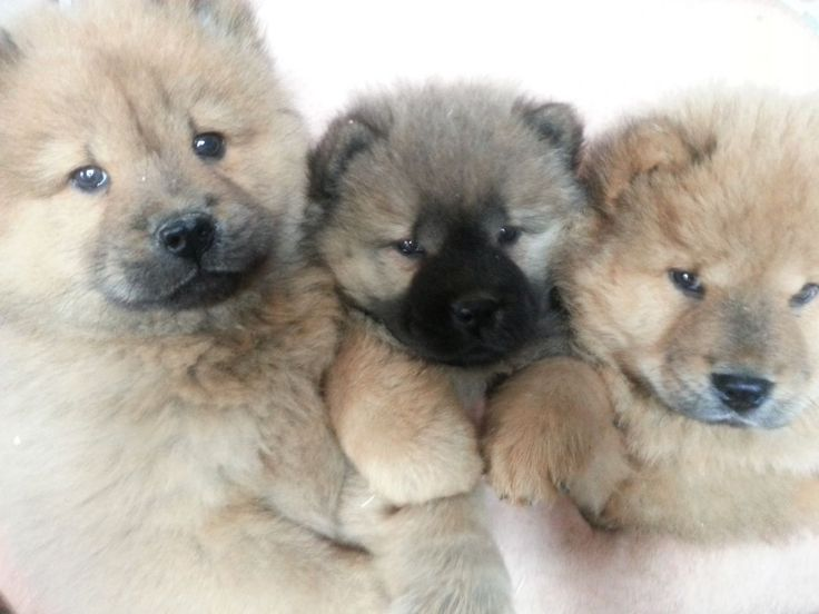 Cheap Chow Chow Puppies For Sale
