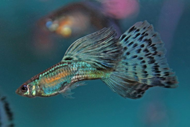color guppies 19082018 breeding different types of fancy guppies reveals a combination of traits in the offspring, such as their color and appearance guppies are great for.