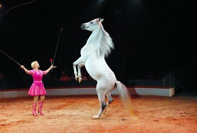 circus horse | liberty and trick horse