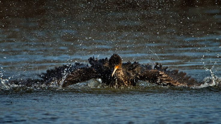 Great Cormorant by Giovanni Giuliani on 500px