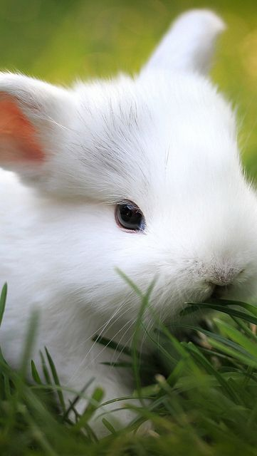 Rabbit sniffing the grass