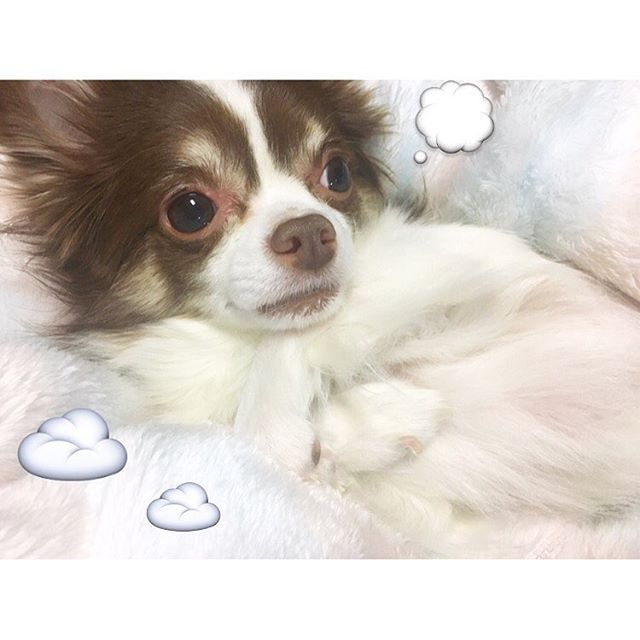 ..☁️.. what's on your mind 🐶💭❔ 腕くんで考えごと😮❔ #TOKYO#JAPAN#Trip#Travel#Traveler#winter#love#alohappy#happy#music#violinist#dog#pet#chihuahua#cute#baby#ilovedog#相知明日香#ヴァイオリニスト#旅するヴァイオリニスト#ヴァイオリン#旅#旅人#東京#日本#犬#愛犬#チワワ#大好き